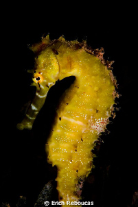 Thorny Seahorse by Erich Reboucas 